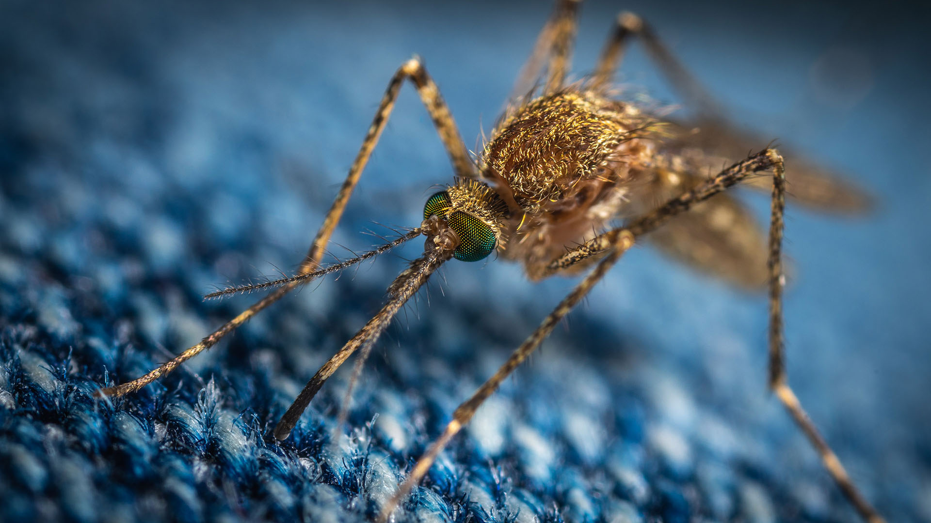 Close up of a brown mosquito on blue fabric