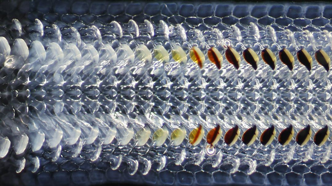 Close up iridescent image of The teeth of the chiton mollusc