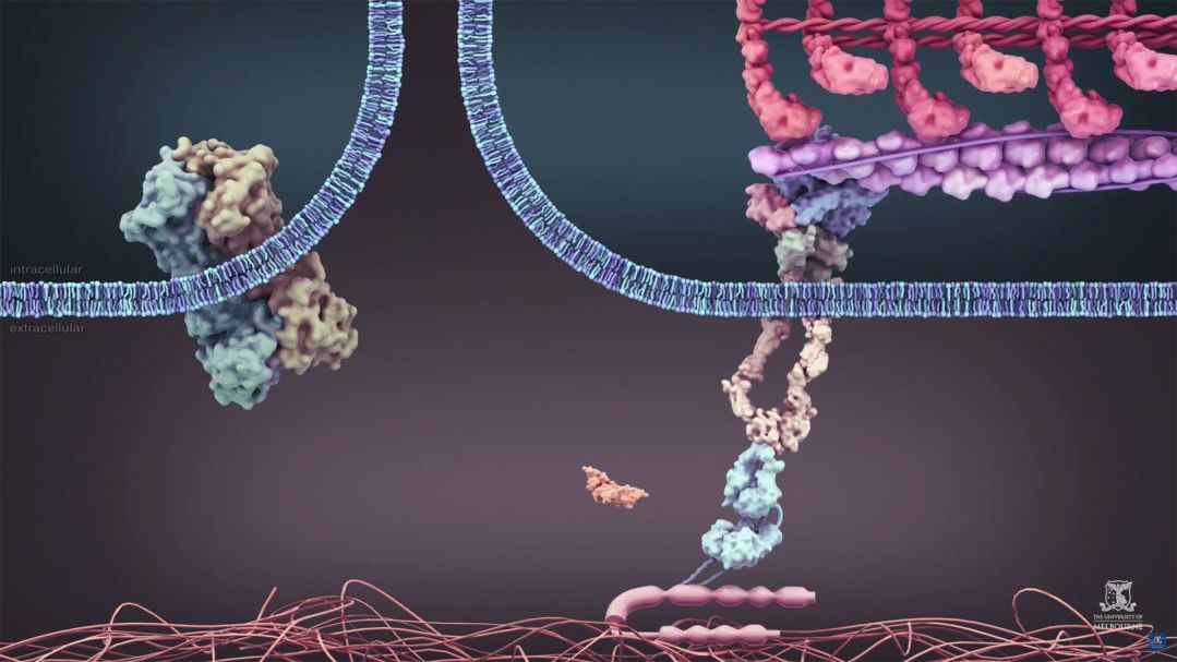 Animation showing the mechanical activation of TGF-beta protein