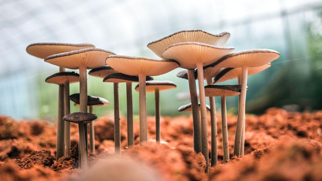 Flat top white mushrooms with long stalks grow in red soil