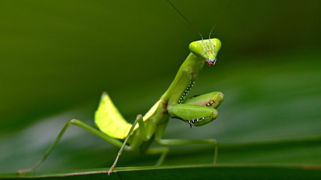 A green praying mantis standing on a leaf