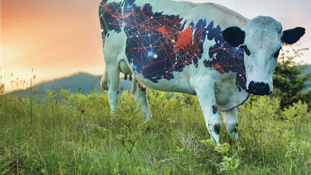 A cow standing in a field, it has illustrations of computer networks on the black patches of its fur