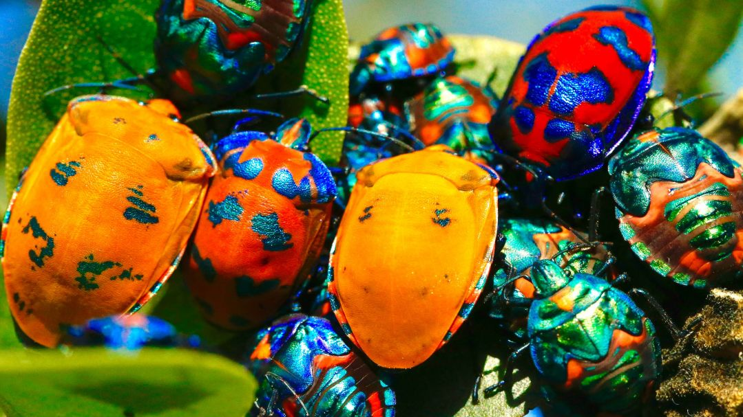 several brightly coloured and iridescent beetles on a leaf