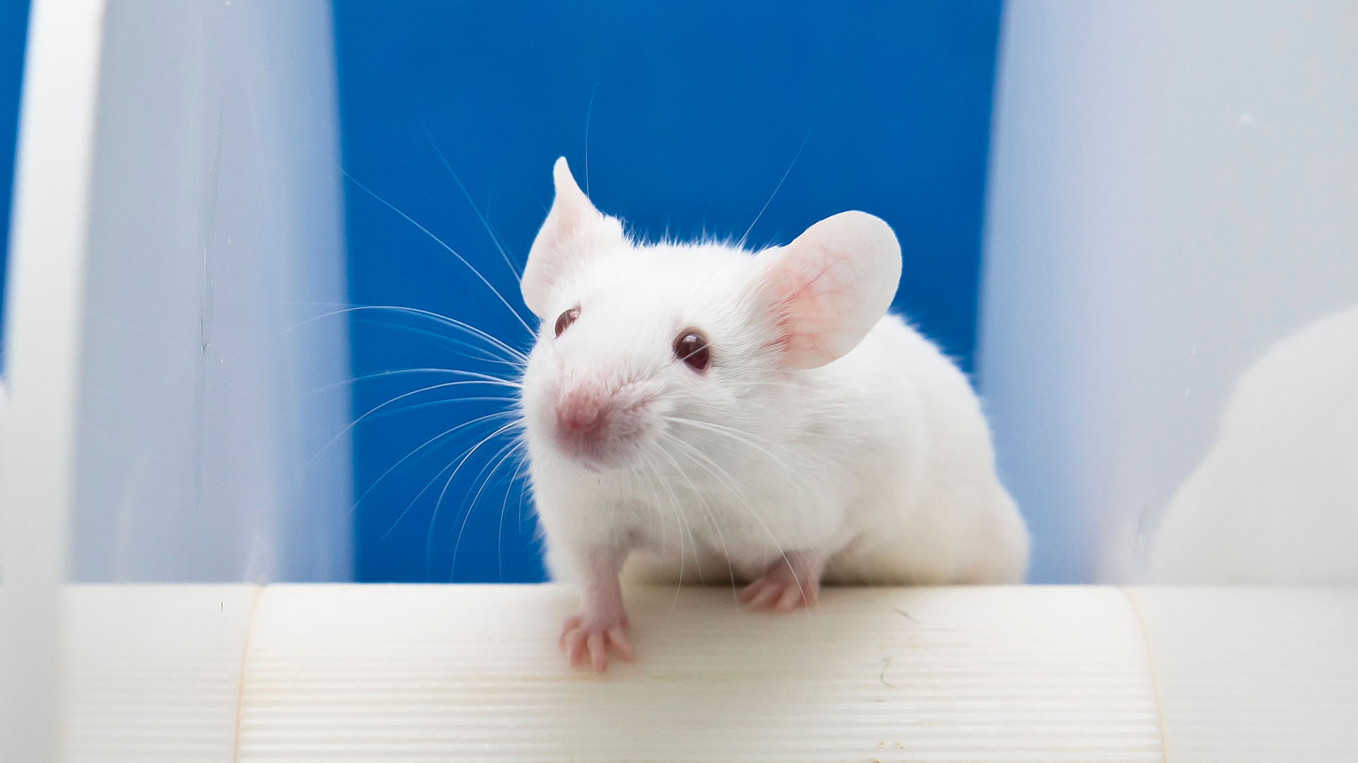 A white mouse against a blue background