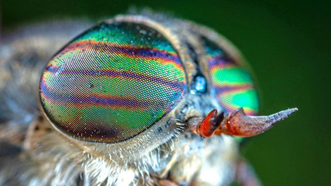 close up of a fly's myriad eyes