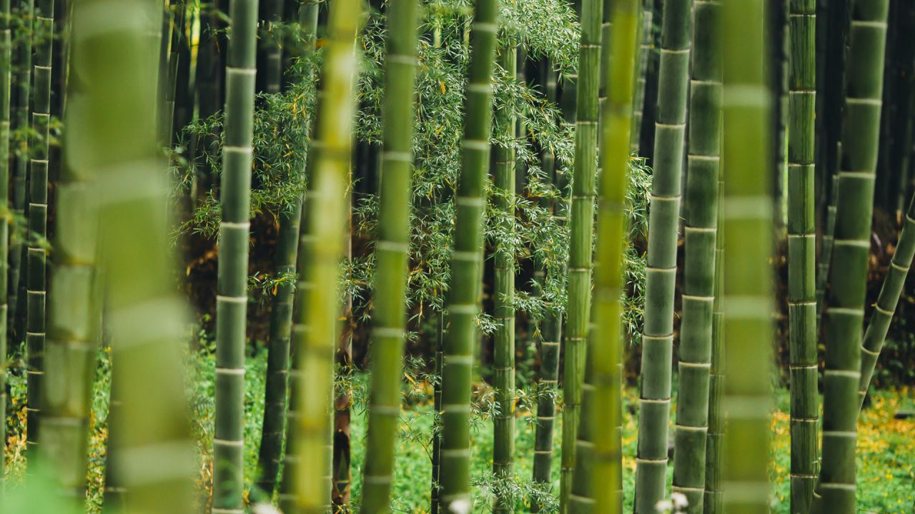 A forest of green bamboo