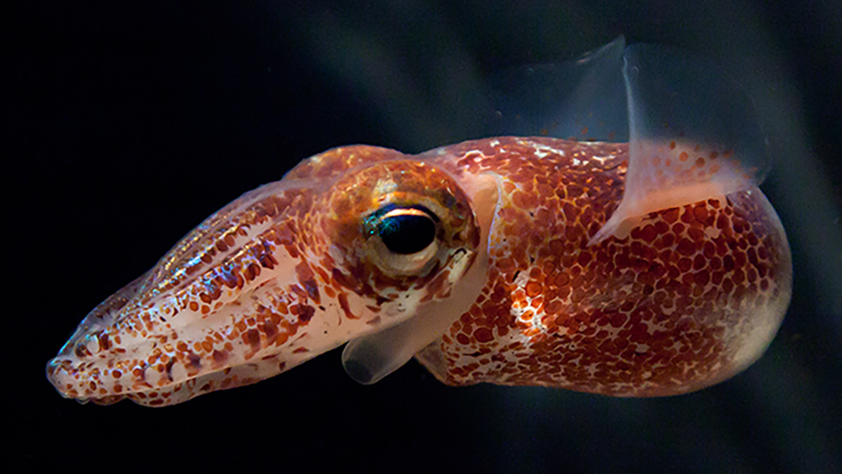 A small pink bobtail squid with bioluminescent glow around its head and fins