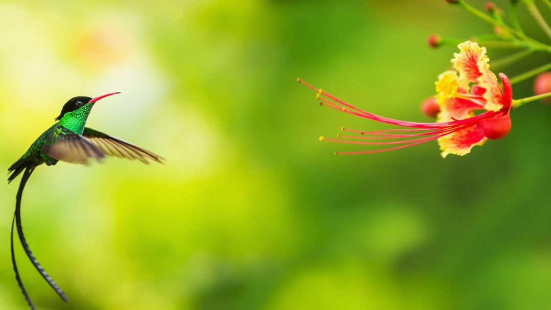 A hummingbird hovering near a pink flower, the background is bright green