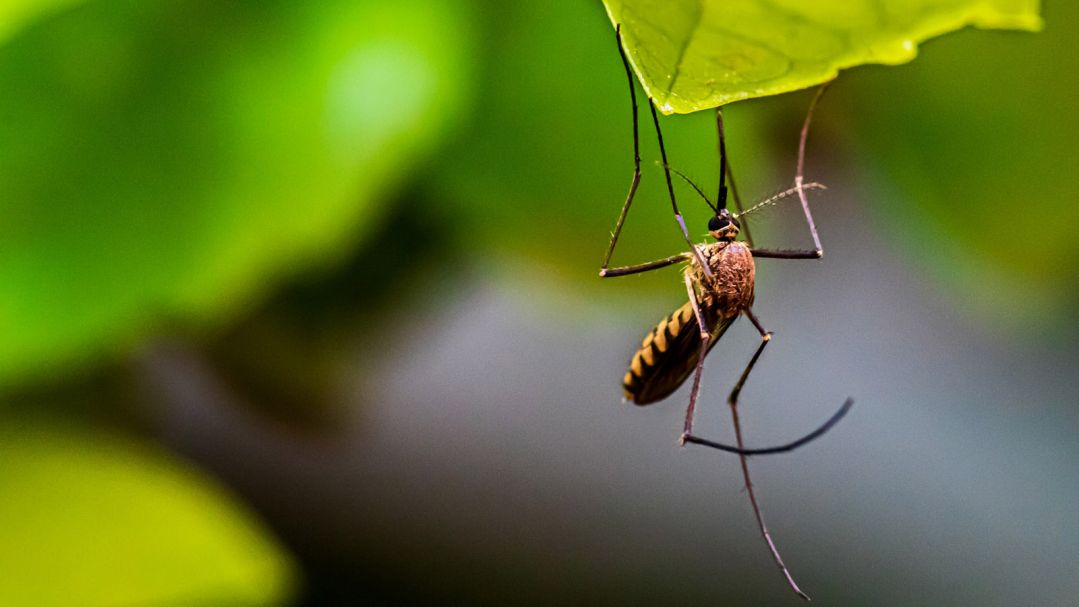 close up of a mosquito on a leaf
