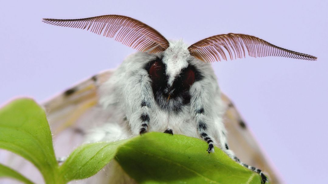 close up of a black and white moth with purple antenna sitting on a leaf