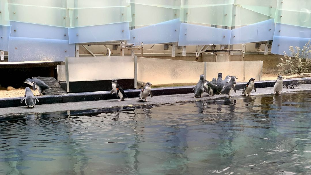 A group of little, or fairy, penguins playing in the water in a zoo enclosure