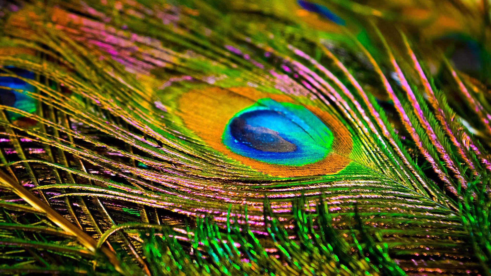 close up of iridescent peacock feathers