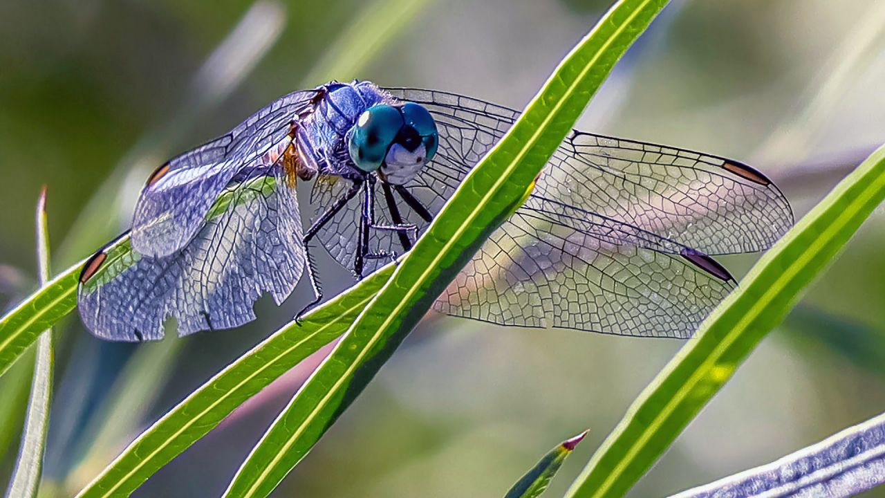 Ablue winged dragonfly on a grass stem