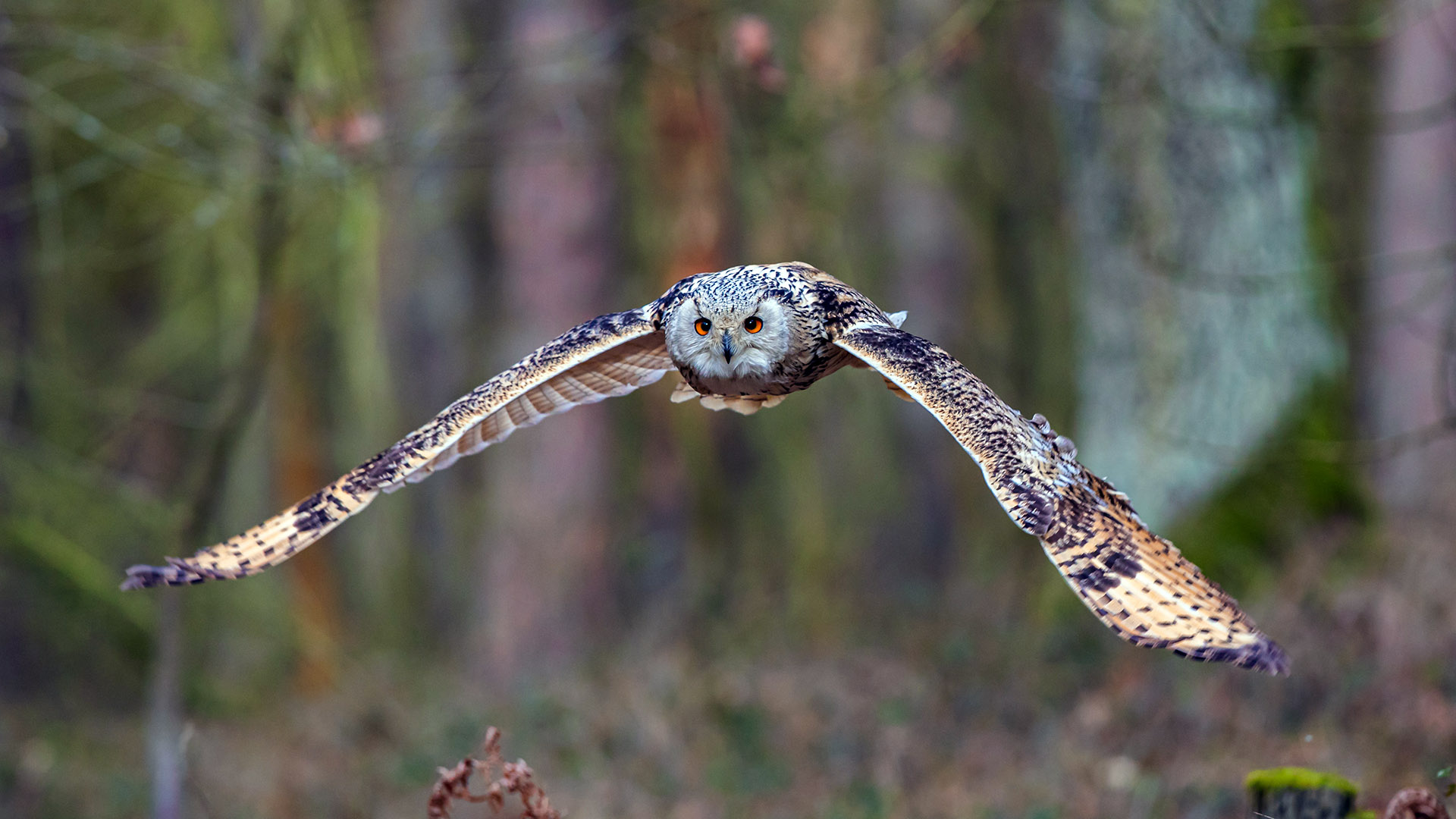 A brown, tan and white western Siberian eagle-owl with orange eyes flying towards the camera.